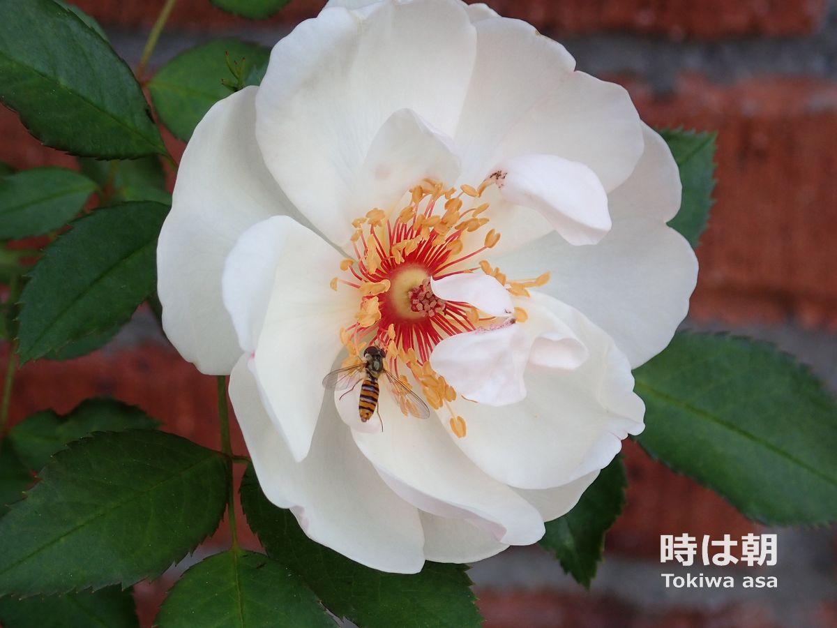 ジャクリーヌ・デュプレ2018年5月 ヒラタアブが蜜を吸いに