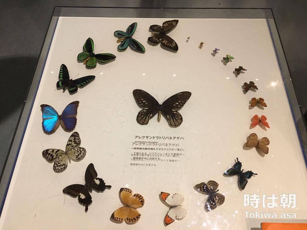 蝶 特別展「昆虫」2018 国立科学博物館