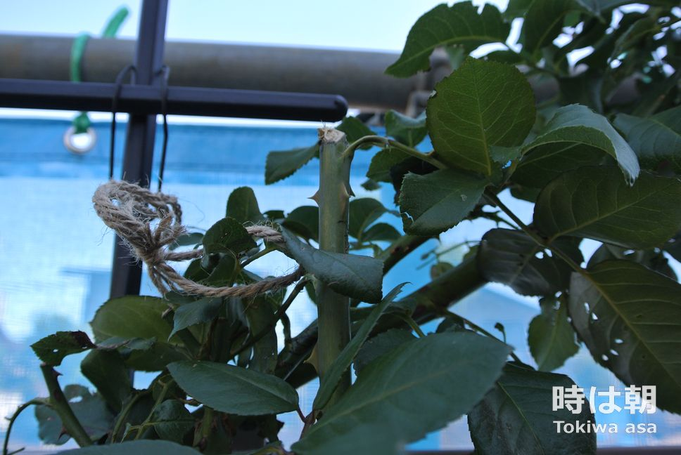ルージュピエールドロンサール 折れた枝