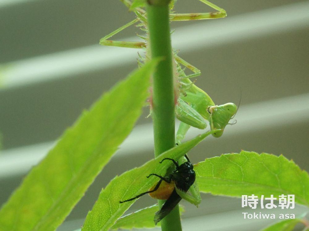 チュウレンジハバチを捕まえるカマキリ 2020年7月